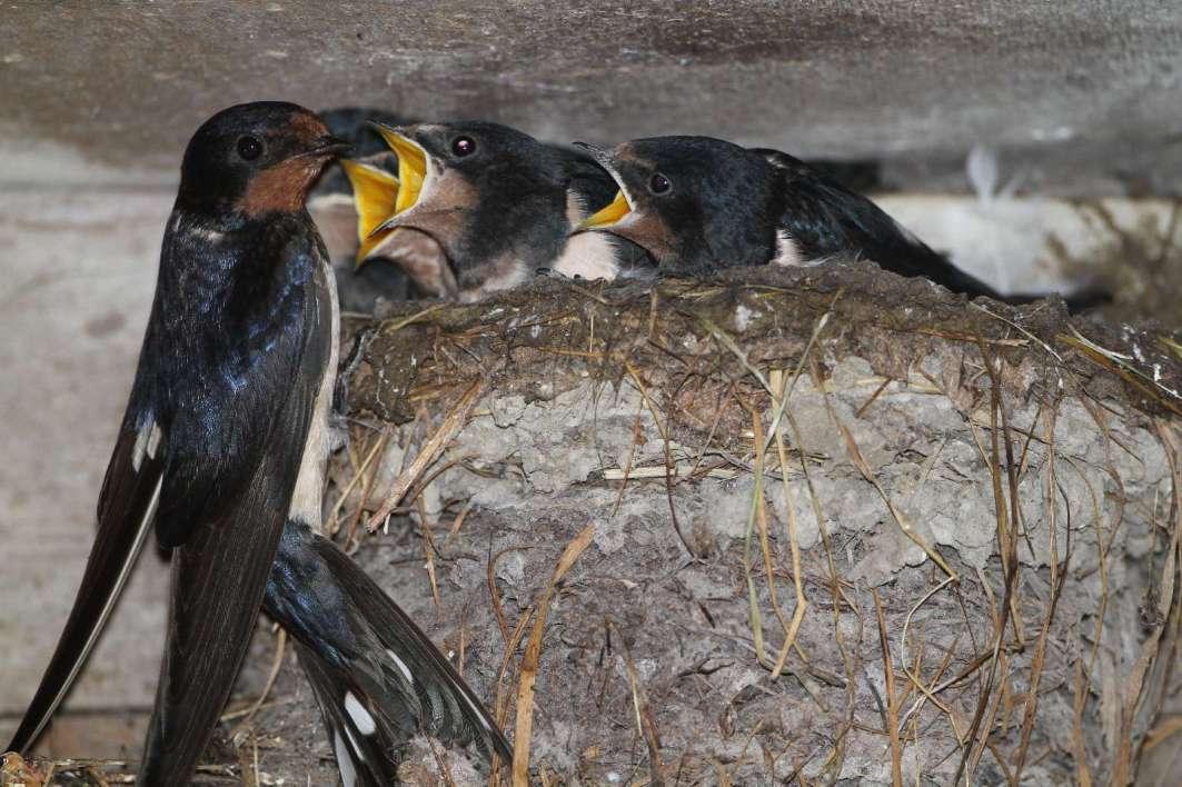 Rauchschwalben am Nest © H. J. Fünfstück/Piclease