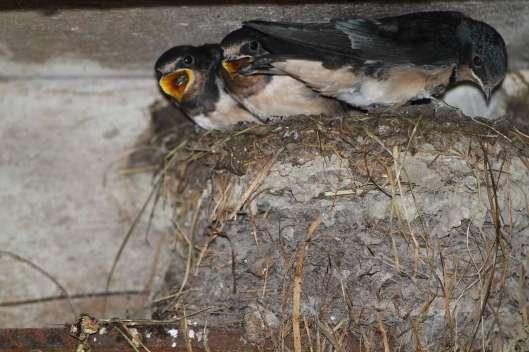 Junge Rauchschwalben im Nest © H. J. Fünfstück/Piclease