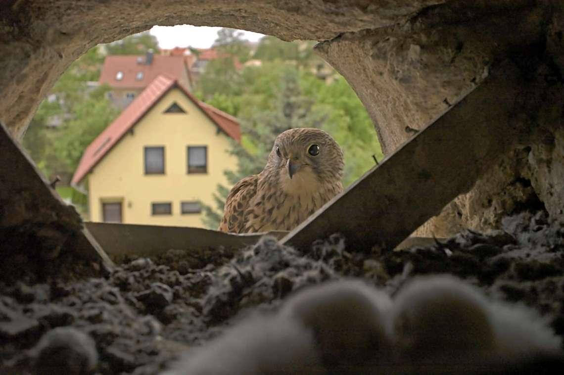 Turmfalkenweib vor der Bruthöhle © R. Kaminski/Piclease
