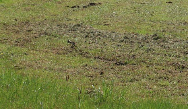 Kiebitzküken auf der Suche nach Nahrung