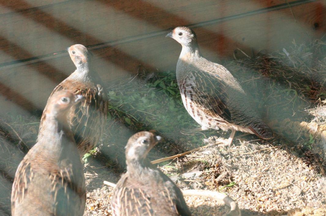 Die jungen Rebhühner in der noch geschlossenen Voliere.