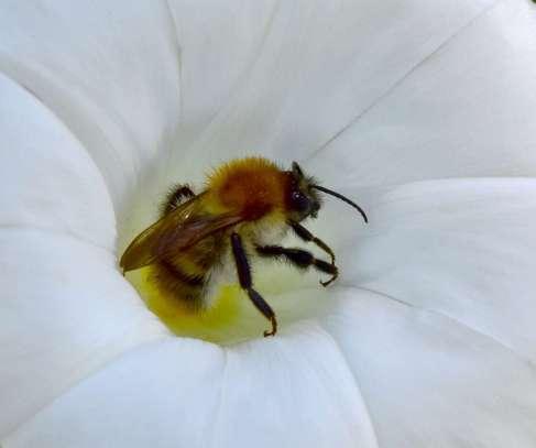 Blattschneiderbiene©W-Schruf/piclease