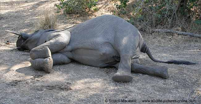 //www.wildlife-pictures-online.com/image-files/dead_elephant-7208.jpg' cannot be displayed]