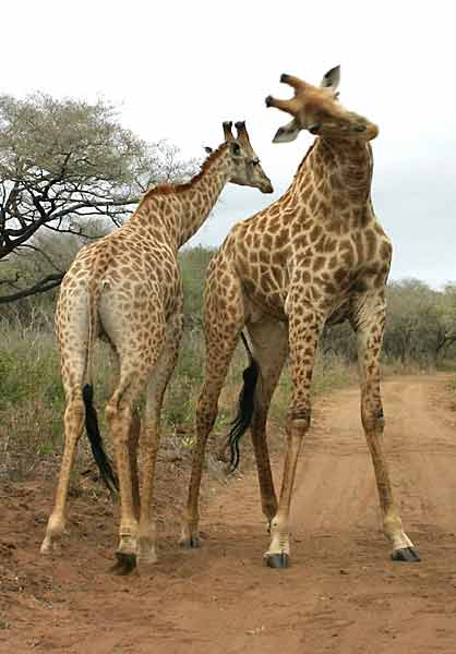 Giraffe males sparring