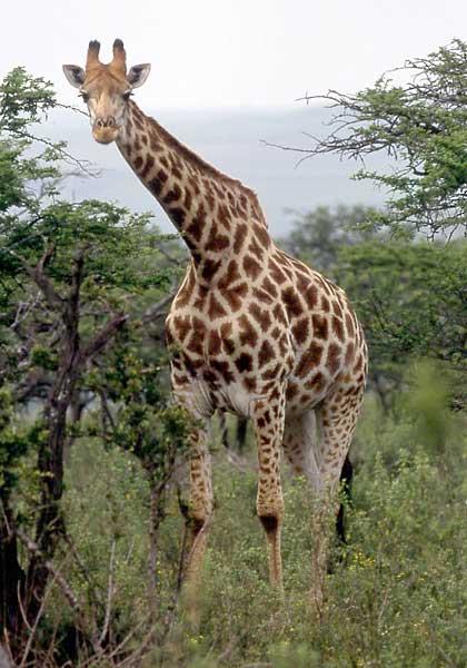 Giraffe standing in acacia woodland