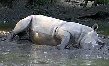 Rhino having a mudbath, Botswsana