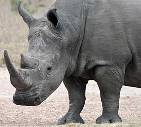 White rhino showing square lip, Sabi Sand, South Africa