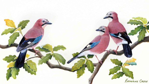 Eurasian Jay PaintingBird Painting, wildlife art, eurasian jay painting