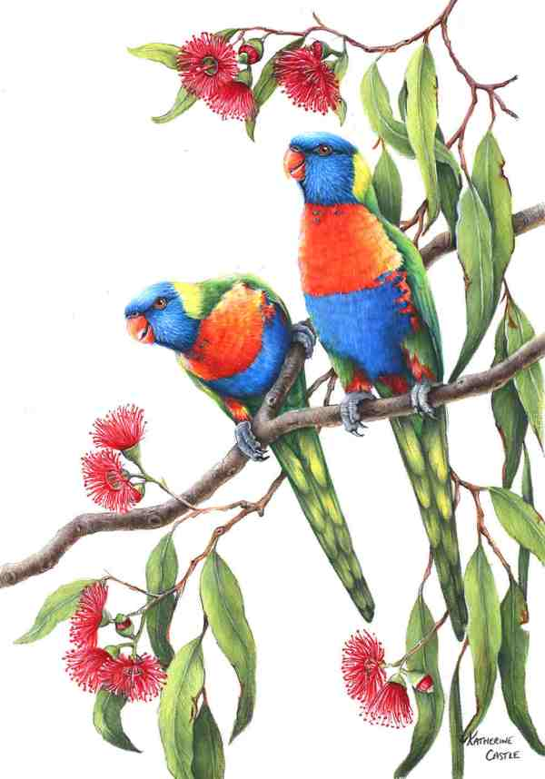 Rainbow Lorikeets Drawing