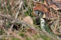 reptiles,grass,snake,grass,snake,hidden