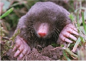 Eastern Mole (Scalopus aquaticus)