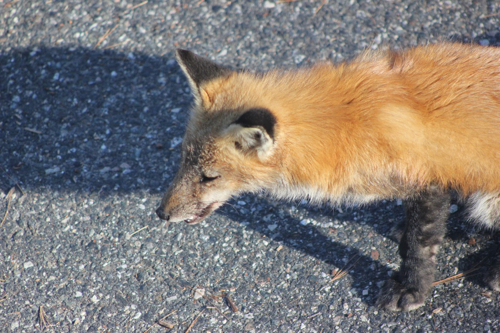 Red Fox with Moderate Mange