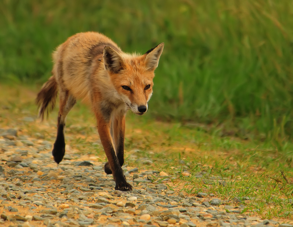 Red Fox Molting