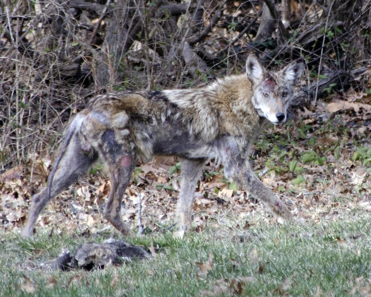 Coyote Molt w/ Mange & Injuries