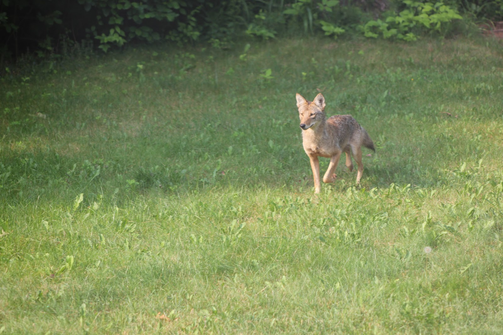 Coyote Molting
