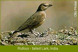 india endemic species of birds