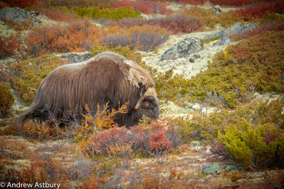 11I7244 900x600 Eagle & Musk Ox Trip Report
