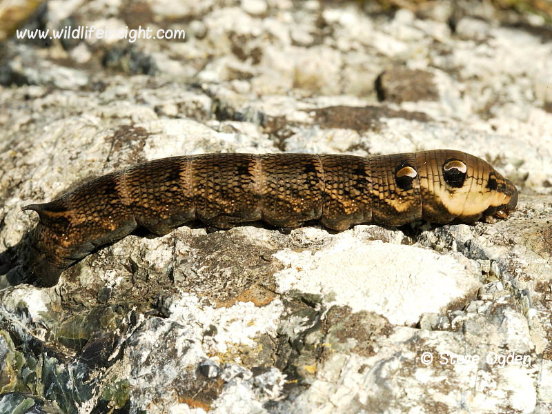 1991 Elephant Hawk-moth (Deilephila elpenor) caterpillar -  brown form basking in the sun  © Steve Ogden