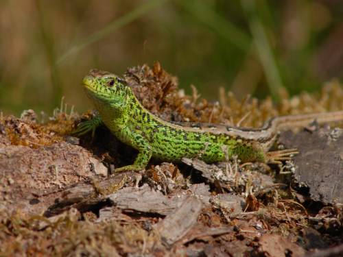 The colorful sand lizard.