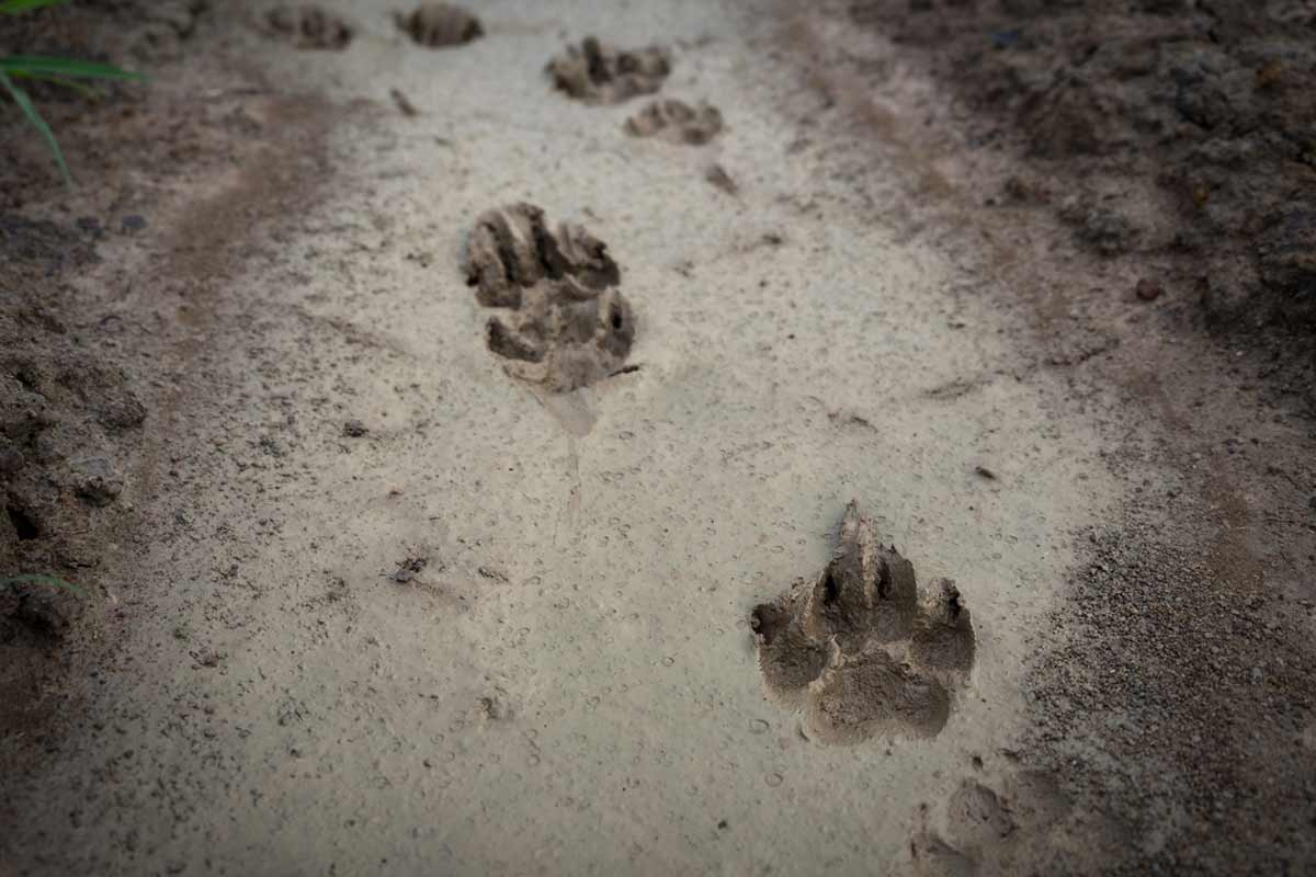 Animal Track Identification Guide