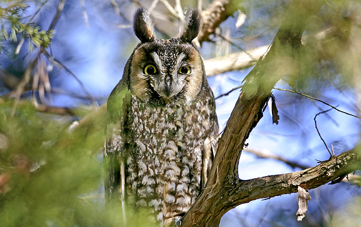 Image result for Long-eared Owl new jersey
