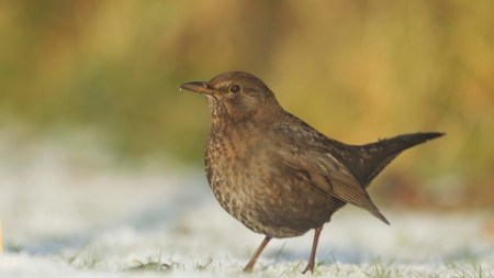 Blackbird | The Wildlife Trusts