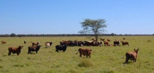 peer-v_wikimedia_paraguay-chaco-cattle-ranch_635