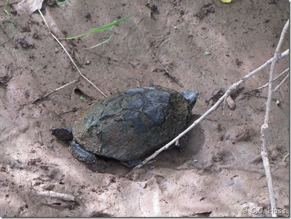 Mud turtle high and dry.