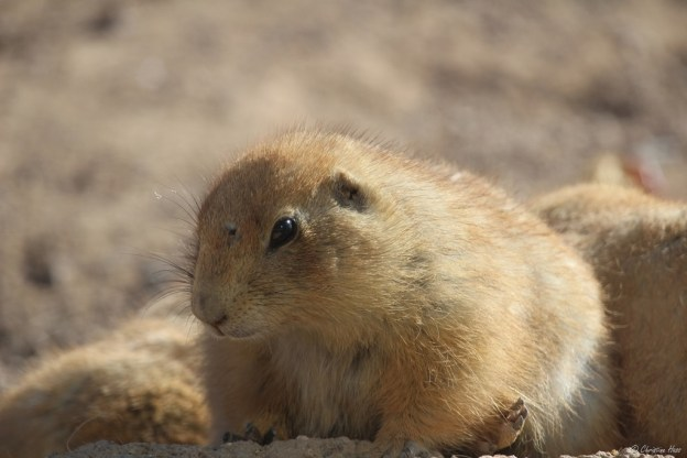 What Do Black Tailed Prairie Dogs Eat