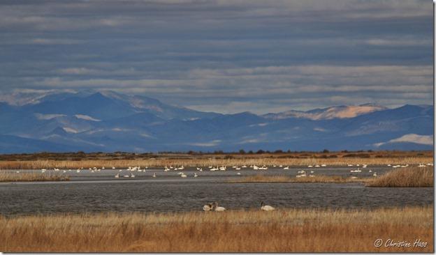 Tundra Swans at Stillwater National Wildlife Refuge