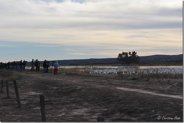 A flock of photographers and a flock of snow geese.