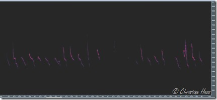 Spectrogram of the captive juvenile cactus deermice. They are about 3 weeks old. Scale on right goes from 0 to 100 kHz.