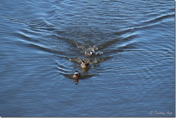 A skirmish among ruddy ducks