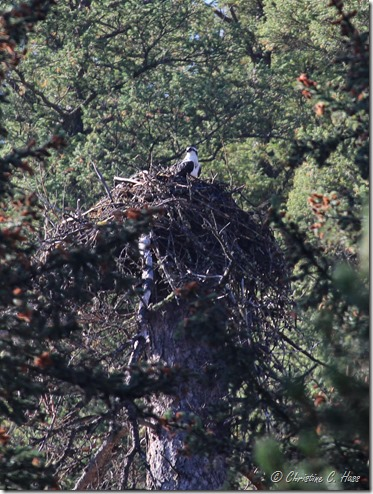 Osprey on a nest, Grey's River, Wyoming.