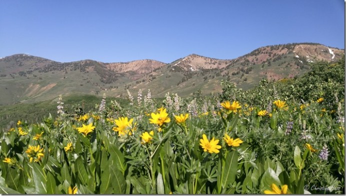 Lupine and balsamroot as far as the eye can see. Jarbidge Mountains, NV. July 2017.