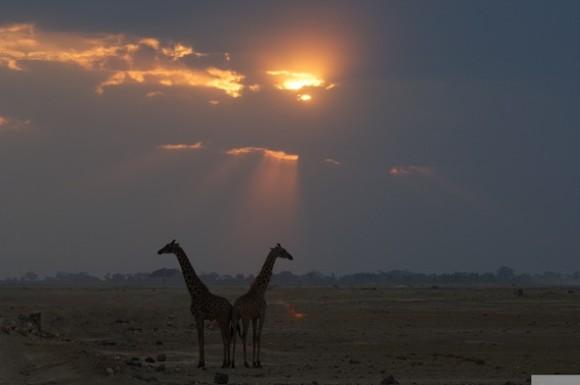 giraffen_D2E6611