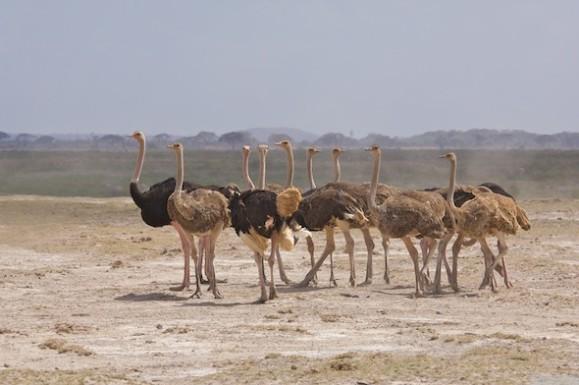 struisvogels_D2E5253