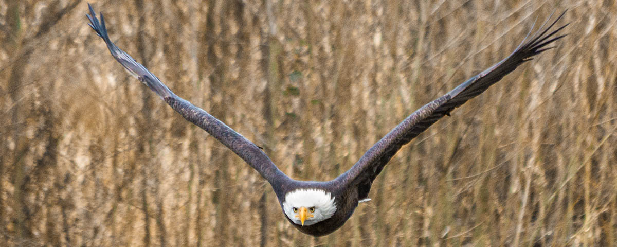 Nooksack River, Bald Eagle, © Brett Baunton