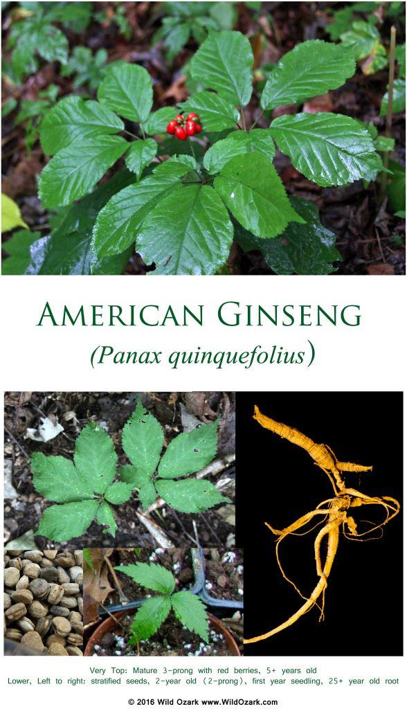 2017 Ginseng Prices - Diggers and Dealers Information | Wild