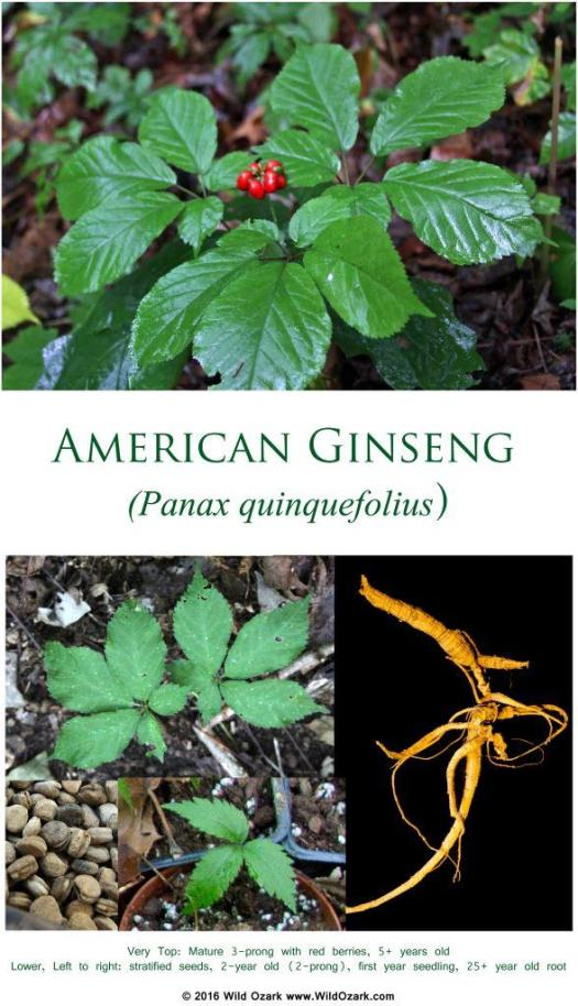 "Photo to accompany my article ""Questions About Ginseng"". Poster available from the Wild Ozark shop at RedBubble."