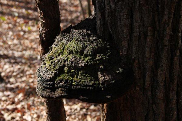 tree fungi maybe ganoderma