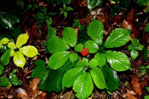 ginseng with red berries