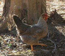 grey chicken
