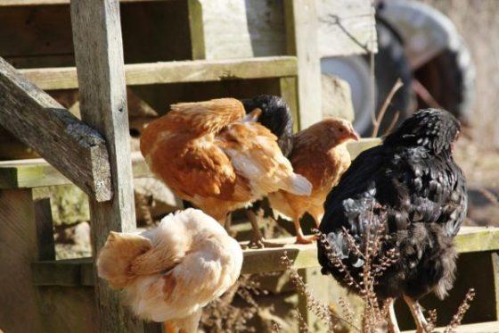 chickens preening
