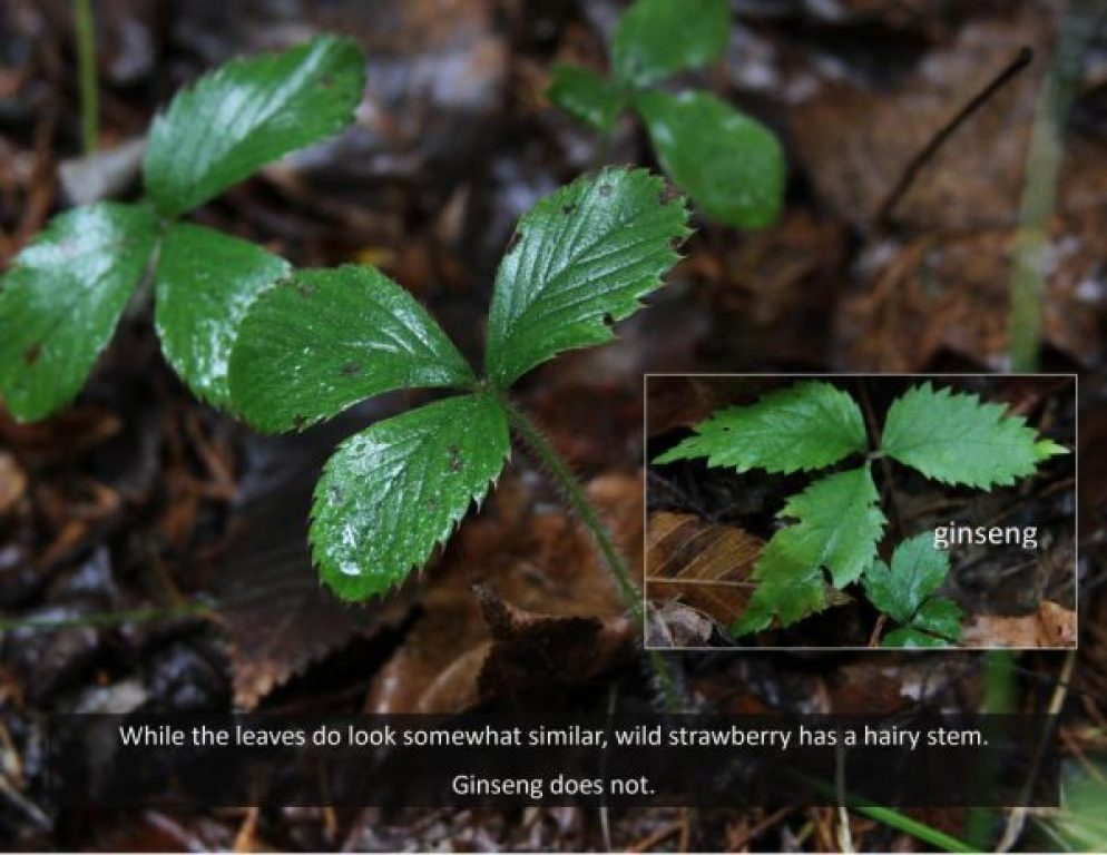 photo of wild strawberry and first year ginseng