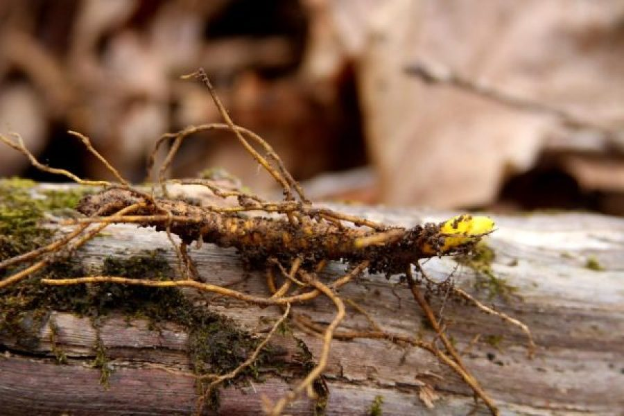 an older goldenseal rhizome