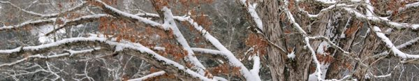 snow covered oak limbs