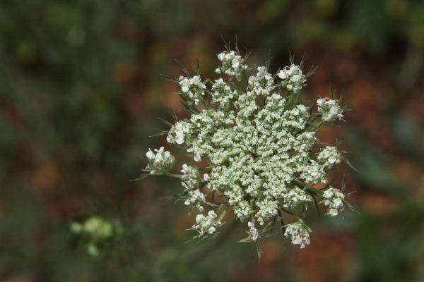 Queen Annes Lace still unfurling