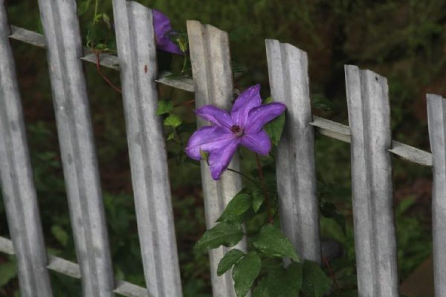 Gorgeous purple clematis blooming at the Wild Ozark homestead.