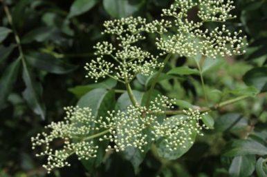 elderberry from above